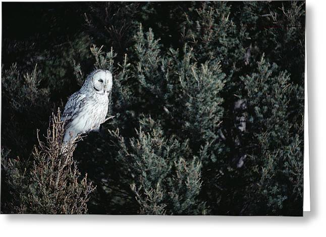 Great Gray Owl Strix Nebulosa In Blonde Greeting Card by Michael Quinton