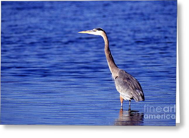 Gray Heron Greeting Cards - Great Grey Heron Greeting Card by Science Source
