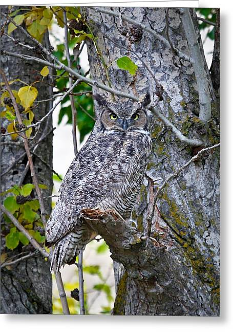 Barn Pen And Ink Greeting Cards - Great Horned Owl Greeting Card by Athena Mckinzie