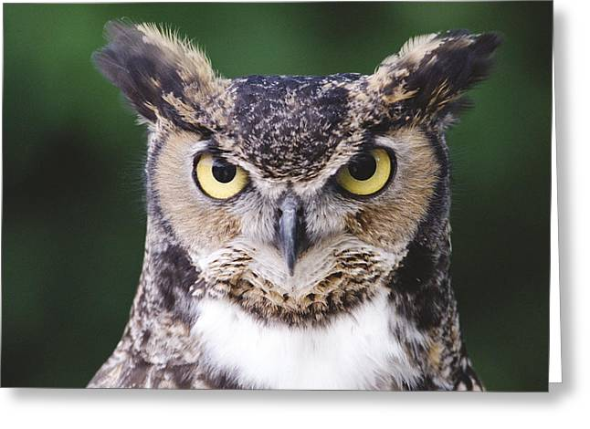 Owl Photography Greeting Cards - Great Horned Owl Bubo Virginianus Greeting Card by Gerry Ellis