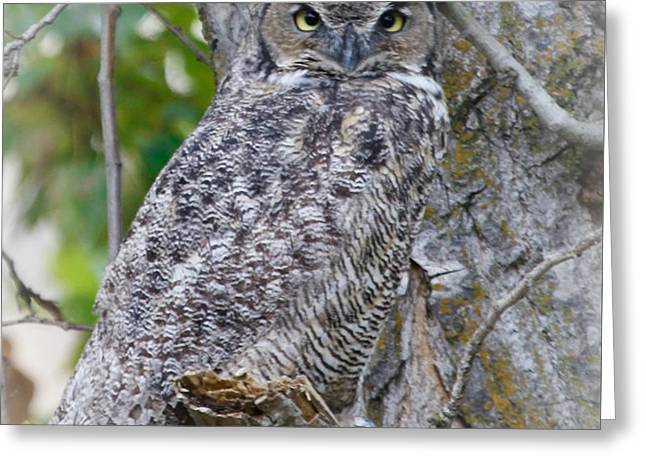 Great Horned Owl II Greeting Card by Athena Mckinzie