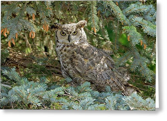 Crows Greeting Cards Greeting Cards - Great Horned Owl Greeting Card by James Steele