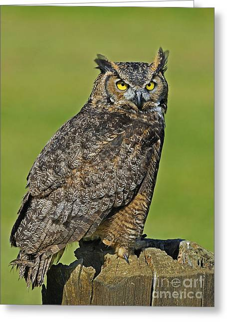 Tufted Ears Greeting Cards - Great Horned Owl... Greeting Card by Nina Stavlund