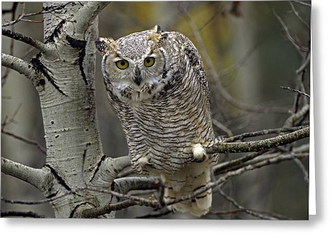 Great Horned Owl Pale Form Kootenays Greeting Card by Tim Fitzharris