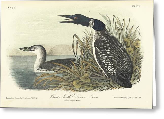 Best Sellers -  - Coloured Greeting Cards - Great North Diver Loon Greeting Card by John James Audubon