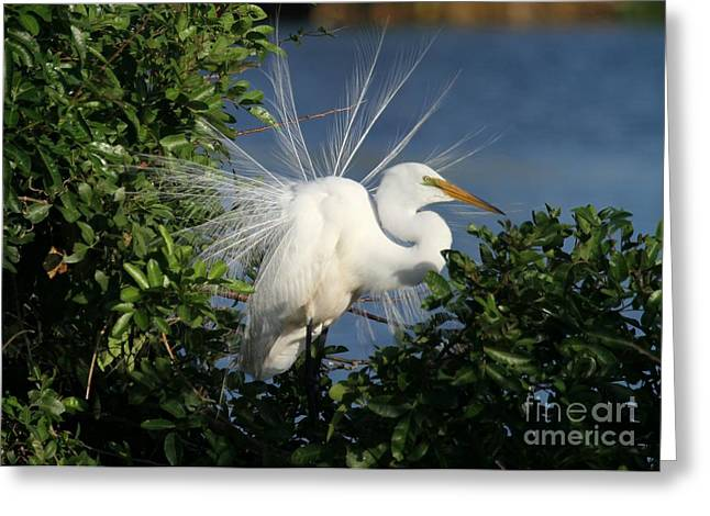 Wakodahatchee Greeting Cards - Great White Egret in the Trees Greeting Card by Sabrina L Ryan