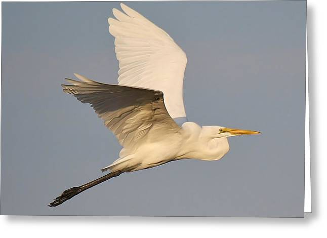 Great White Egret Soaring Greeting Card by Paulette Thomas