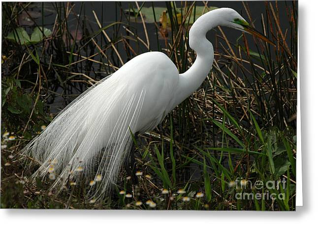 Wildlife Refuge. Greeting Cards - Great White Egret Greeting Card by Vivian Christopher