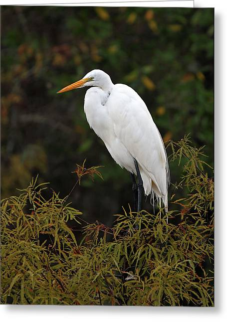 South West Florida Greeting Cards - Great White Heron in Everglades NP Greeting Card by Juergen Roth