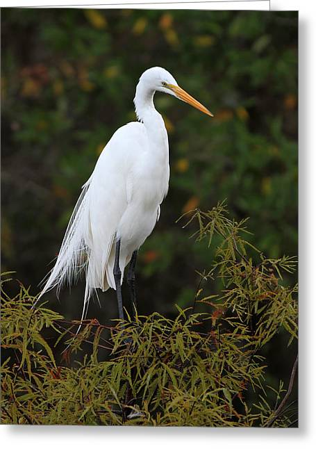 Fotografie Greeting Cards - Great White Heron near Everglades NP  Greeting Card by Juergen Roth