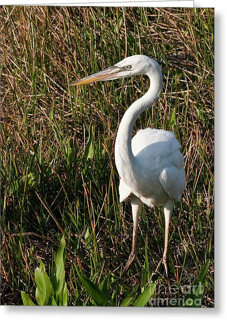 Morph Greeting Cards - Great White Heron Greeting Card by Rodney Cammauf
