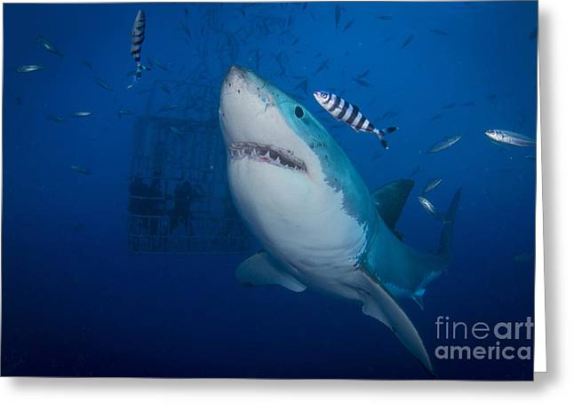 Baitfish Greeting Cards - Great White Shark And Pilot Fish Greeting Card by Todd Winner