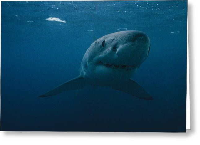 Neptune Islands Greeting Cards - Great White Shark Carcharodon Greeting Card by Bill Curtsinger