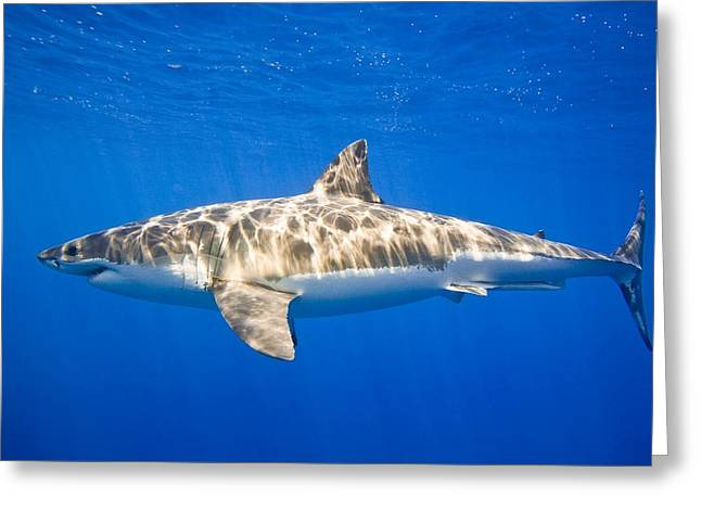 White Shark Photographs Greeting Cards - Great White Shark Carcharodon Carcharias Greeting Card by Carson Ganci