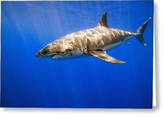 White Shark Greeting Cards - Great White Shark Greeting Card by Carson Ganci