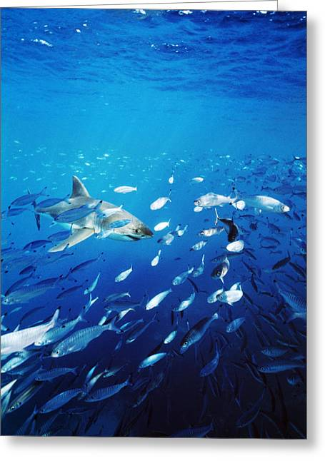 White Shark Photographs Greeting Cards - Great White Shark Hunting In A Large Greeting Card by James Forte