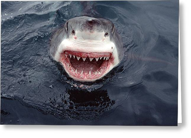 White Shark Photographs Greeting Cards - Great White Shark Smile Australia Greeting Card by Mike Parry