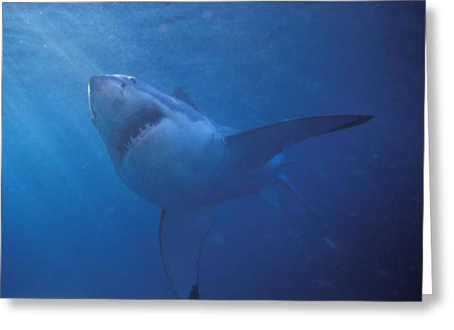 Schooling Greeting Cards - Great White Shark With Light Rays Greeting Card by James Forte