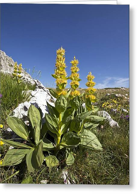 Italian Landscapes Greeting Cards - Great Yellow Gentian (gentian Lutea) Greeting Card by Paul Harcourt Davies