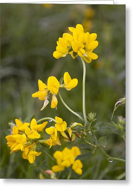 Great Birds Greeting Cards - Greater Birds Foot Trefoil Greeting Card by Bob Gibbons