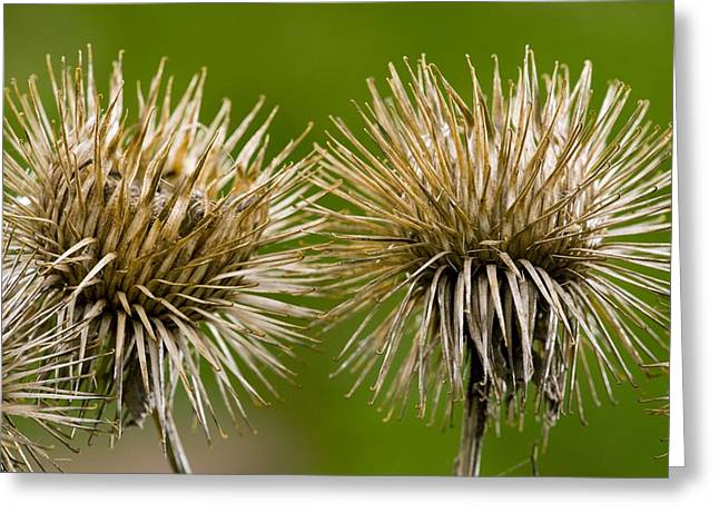 Greater Burdock Greeting Cards - Greater Burdock (arctium Lappa) Greeting Card by Bob Gibbons