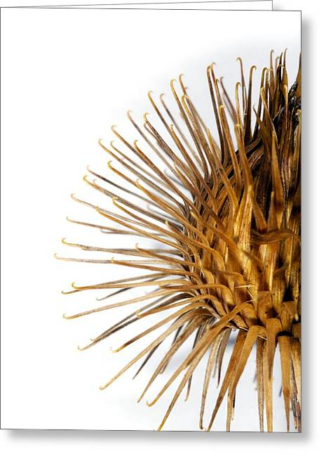 Greater Burdock Greeting Cards - Greater Burdock Burr (arctium Lappa) Greeting Card by Dr Keith Wheeler
