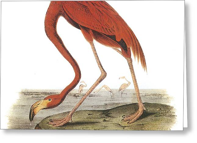 Greater Flamingos Greeting Cards - Greater Flamingo Greeting Card by John James Audubon