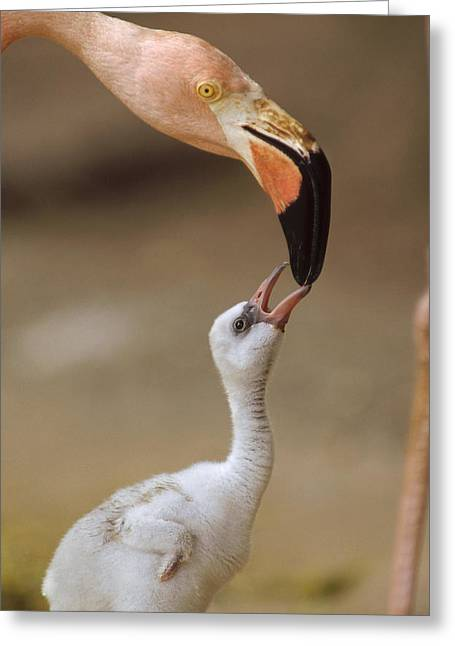 Greater Flamingo Greeting Cards - Greater Flamingo Mother And Chick Greeting Card by Tim Fitzharris