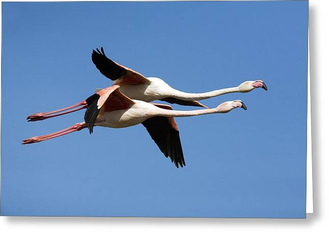 Greater Flamingo Greeting Cards - Greater Flamingos Greeting Card by Bob Gibbons