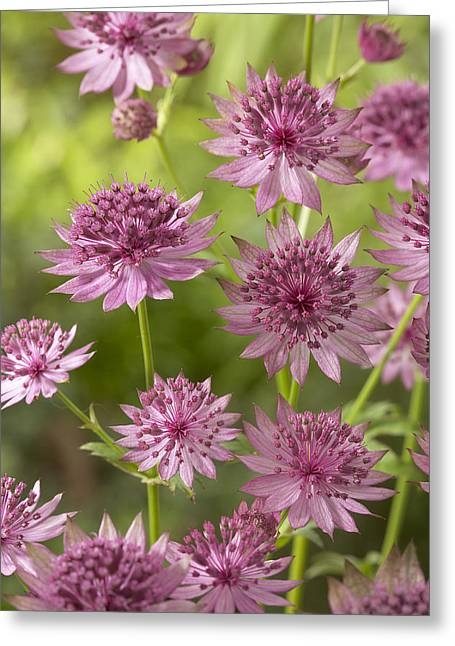 Greater Masterwort Astrantia Major Roma Greeting Card by VisionsPictures
