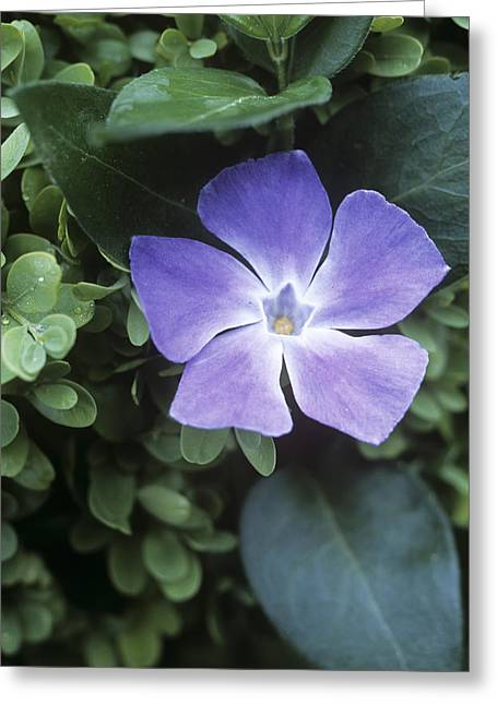 Vinca Flowers Greeting Cards - Greater Periwinkle (vinca Major) Greeting Card by Maxine Adcock