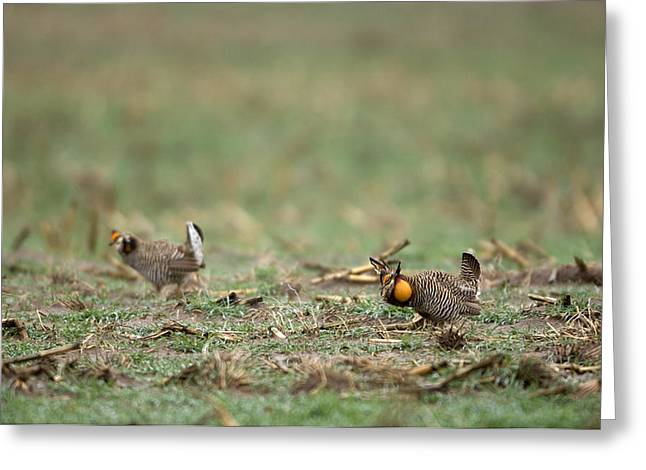 Prairie Chicken Greeting Cards - Greater Prairie-chickens Display Greeting Card by Joel Sartore