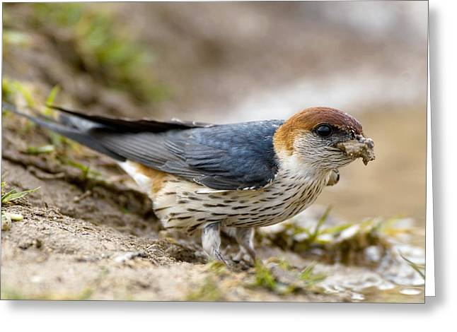 Mud Nest Greeting Cards - Greater Striped Swallow Greeting Card by Peter Chadwick
