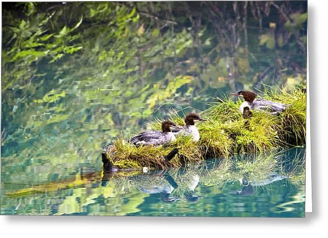 Fish Creek Greeting Cards - Grebe Podicipedidae Birds Sitting On A Greeting Card by Richard Wear