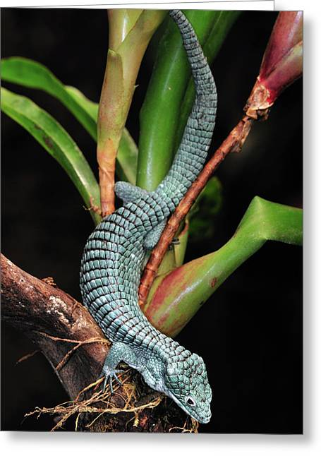 Nyctaginaceae Greeting Cards - Green Arboreal Alligator Lizard Abronia Greeting Card by Albert Lleal