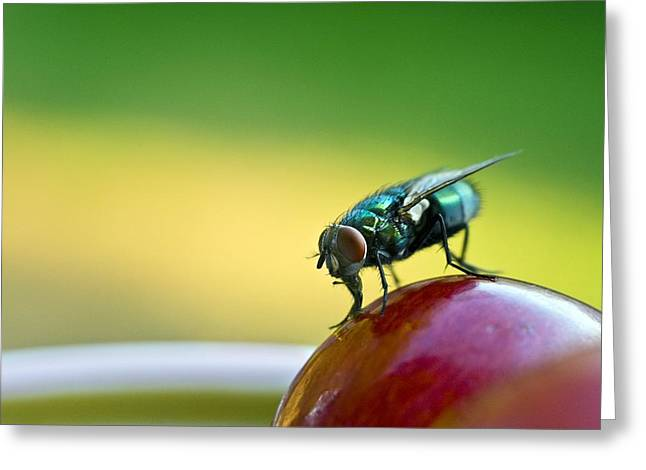 Best Sellers -  - Eating Entomology Greeting Cards - Green Bottle Fly On A Grape Greeting Card by David Nunuk