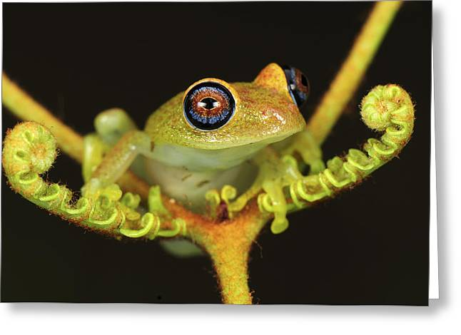 Madagascar National Park Greeting Cards - Green Bright-eyed Frog Boophis Viridis Greeting Card by Thomas Marent
