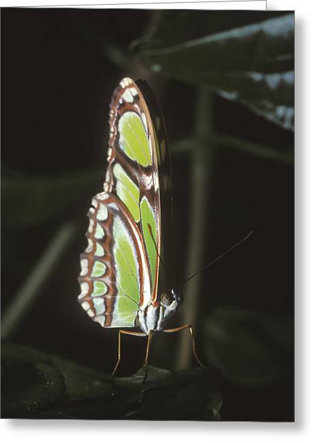 Costa Greeting Cards - Green Butterfly Pearly Malachite Greeting Card by James Forte