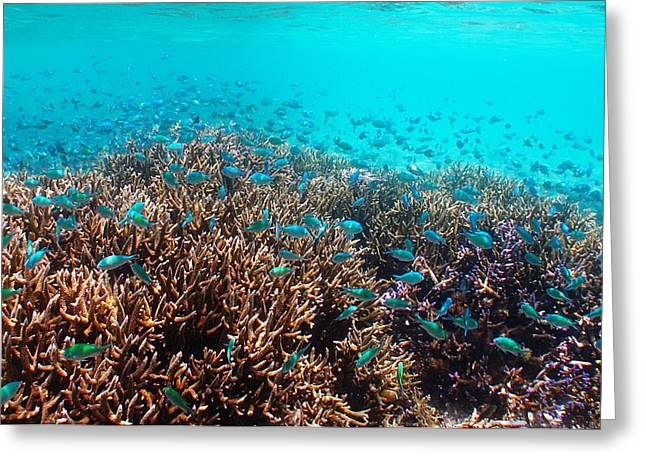 Brian Governale Greeting Cards - Green Chromis Greeting Card by Brian Governale