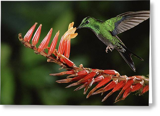 Green-crowned Brilliant Heliodoxa Greeting Card by Michael & Patricia Fogden