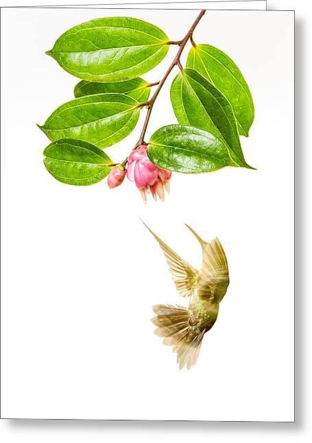 Green Crowned Brilliant Hummingbird Greeting Card by Hali Sowle