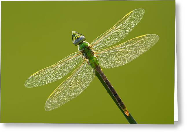 Green Darner Dragonflies Greeting Cards - Green darner Greeting Card by Mircea Costina Photography