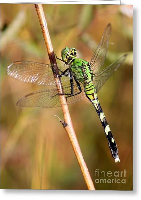Green Darner Dragonflies Greeting Cards - Green Dragonfly Closeup Greeting Card by Carol Groenen