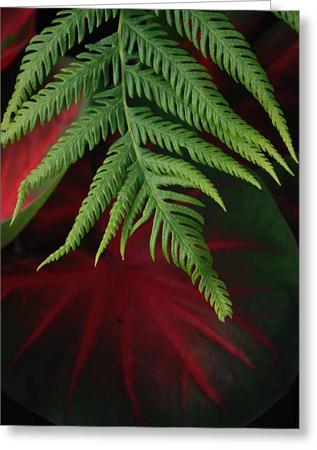 Calladiums Greeting Cards - Green Fern Black and Red Leaf Greeting Card by Jennifer Holcombe