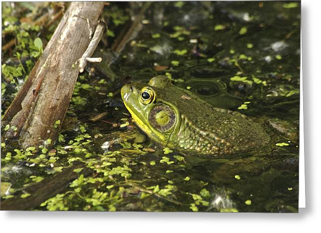 Landscape Photograpy Greeting Cards - Green Frog 4298 Greeting Card by Michael Peychich