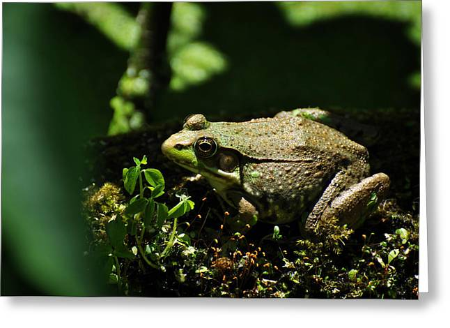 Eastern United States Greeting Cards - Green Frog Rana Clamitans Greeting Card by Rebecca Sherman