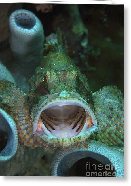 Full-length Portrait Photographs Greeting Cards - Green Grouper With Open Mouth, North Greeting Card by Mathieu Meur