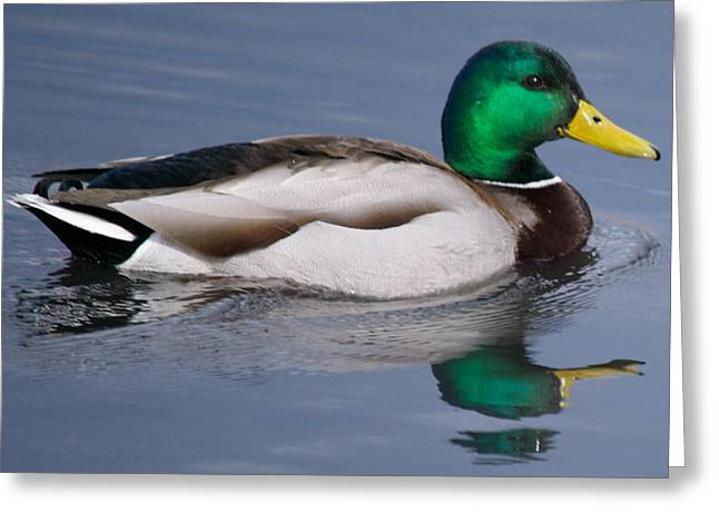 Duck Framed Prints Greeting Cards - Green Head Greeting Card by Kevin Bone