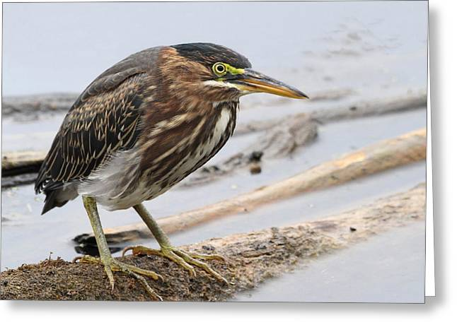 Wildlife Refuge. Greeting Cards - Green Heron Greeting Card by Angie Vogel