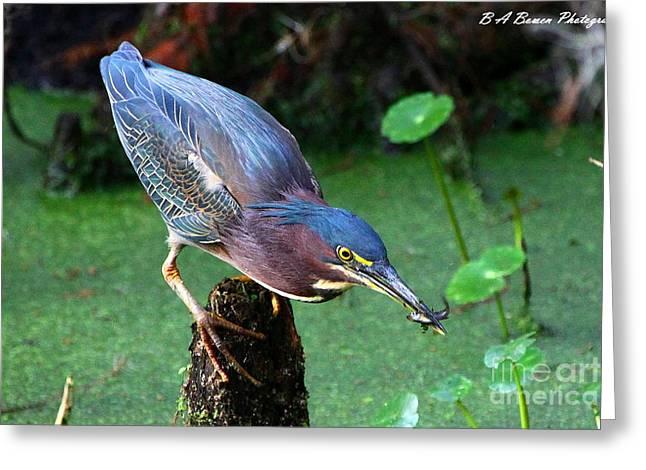 Polk County Florida Greeting Cards - Green Heron nabs a fish Greeting Card by Barbara Bowen